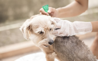 Flea Treatment Vet Australia